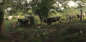 Vieste cosa mangiare: mucche podoloiche al pascolo