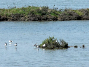 Fauna zone umide a Manfredonia